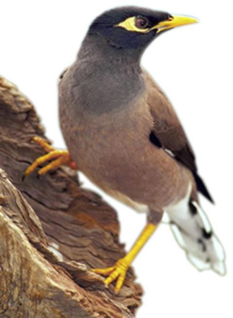 how to catch indian myna birds